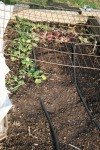 Beet & lettuce seedlings